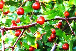 Зизифус - посадка, выращивание, уход, особенности