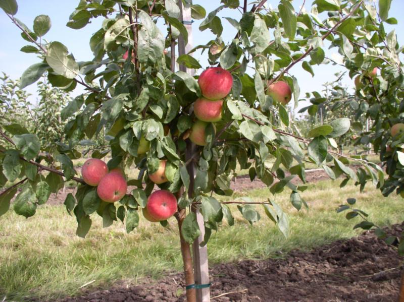 декоративные на сколько сантиметров подрастает яблоня получила его попробовала