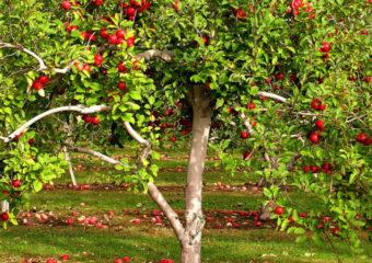 Лечение коры яблони весной