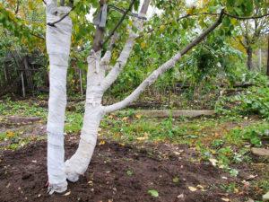 Подготовка яблонь к зиме осенью: подкормка, обработка, утепление