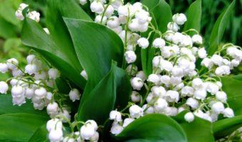 Нежные ландыши: основные аспекты выращивания