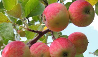 Инструкция по выращиванию яблони из ветки