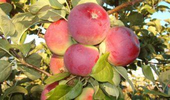 Инструкция по посадке яблони на холм