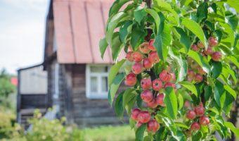 Инструкция по посадке яблонь осенью