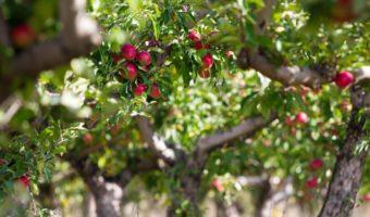 Инструкция по посадке яблони из черенка