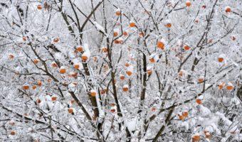 Инструкция по обрезке яблони зимой