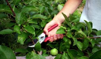 Инструкция по обрезке яблони летом