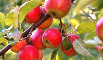 Болезни яблонь