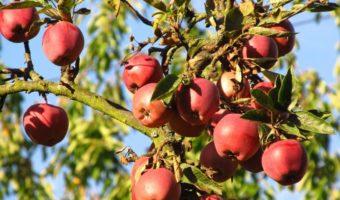 Особенности посадки яблонь на Урале