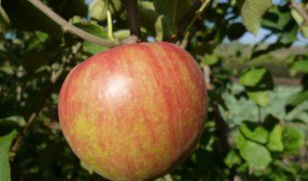 Особенности посадки яблонь на Кубани