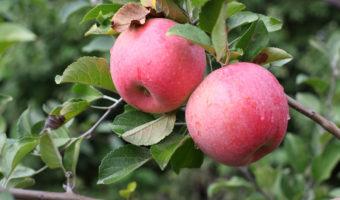 Особенности посадки яблонь в Украине