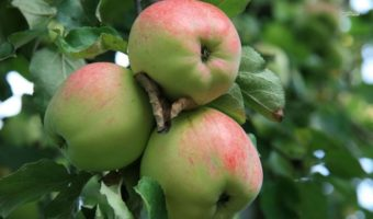 Особенности посадки яблонь в средней полосе России