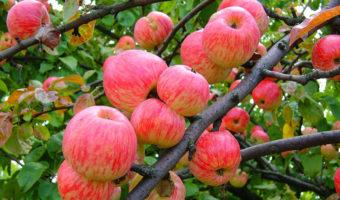 Календарь ухода за яблоней