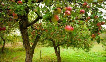 Зачем укрывать яблони