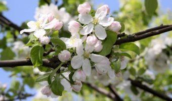 Инструкция сохранения саженцев яблони до весны