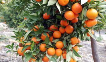Мандарин: посадка, выращивание, уход