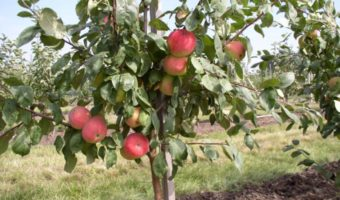 Способы ухода за яблоней осенью