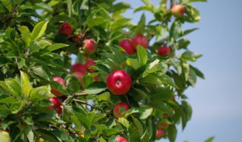 Способы ухода за яблоней