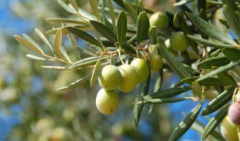 Олива: выращивание из косточки и посадка черенками