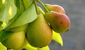 Груша: посадка саженцев и выращивание из семян