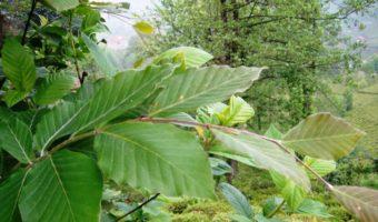 Дерево бук: важные тонкости выращивания