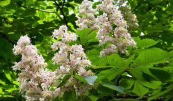 Красивый каштан: особенности посадки и выращивания