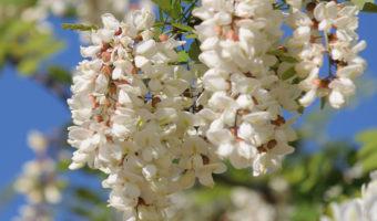 Великолепное дерево акация: особенности выращивания