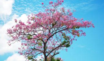 Дивная сакура: тонкости посадки и выращивания