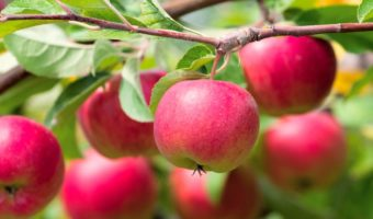 Яблоня: посадка саженцев, выращивание, уход