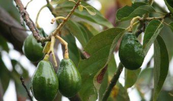 Посадка и выращивание авокадо